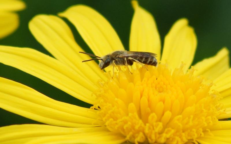 abeille2R